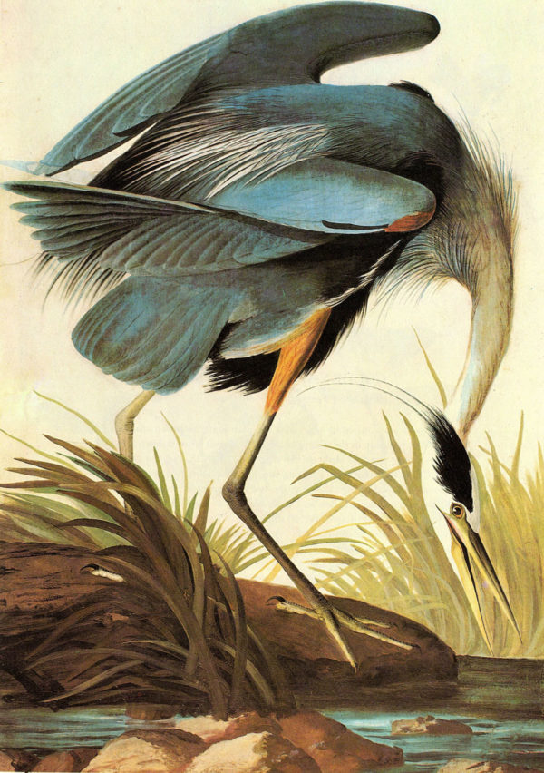 audubon great blue heron 600x852 THE PAGE IS THE LIMIT.