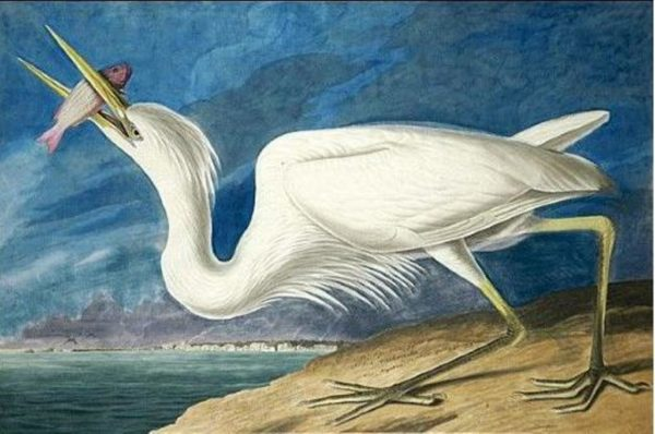great white heron by audubon 600x398 THE PAGE IS THE LIMIT.