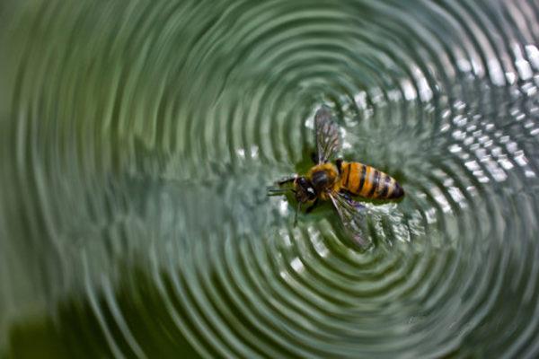 karine-aigner-a-honey-bee-floating-in-water-making-patterns-apis-mellifera